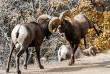 Bighorn Sheep Rams Ramming