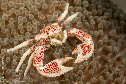 Porcelain crab in an anemone Wallpaper Mural