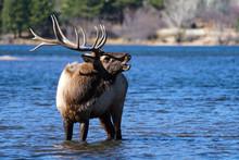 Bull Elk - Colorado