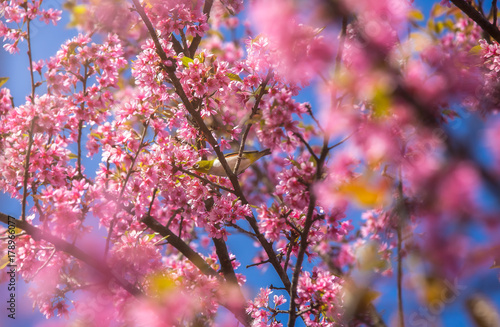 Cherry Blossom and sakura at Doi Ang Khang in Chiang Mai , Thailand