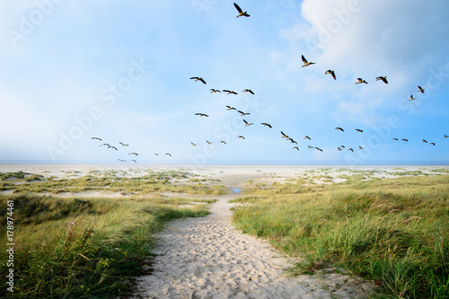 Naklejka premium Langeoog, mucha, wolność, wakacje, relaks: dzikie gęsi na wybrzeżu Bałtyku :)