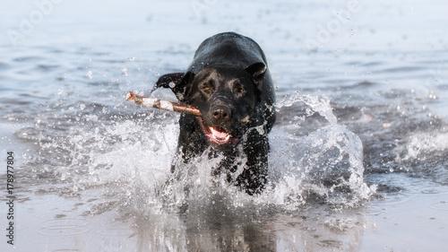 Fotografie, Tablou Black Labrador Retriever is swimming in the water