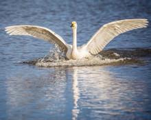 Beswick's Swan Landing On Lake