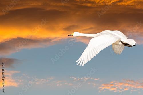 Spoed Fotobehang Zwaan Beswick's swan in flight at sunset