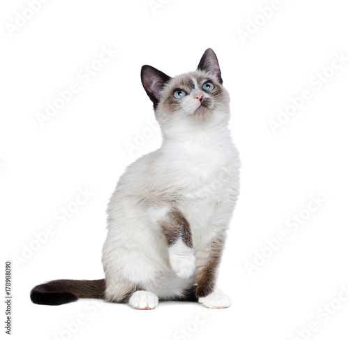 Fotomural  Siamese kitten isolated on white looking up to the copy space area