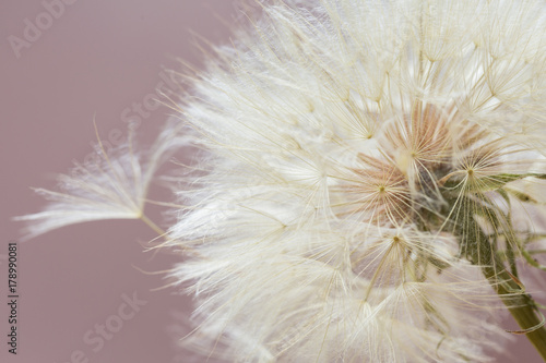 Fotografie, Obraz  Aerial dandelion on  pink background. Relax, air.copy space
