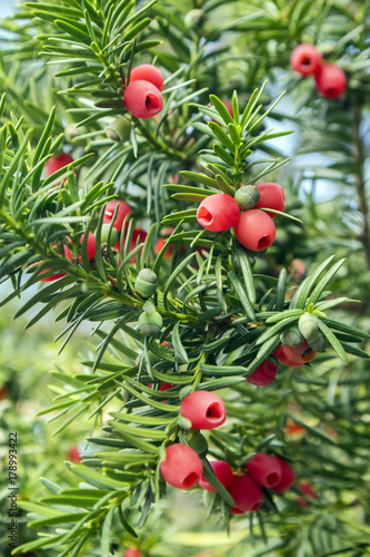 Fotografia Taxus baccata European yew is conifer shrub with poisonous and bitter red ripene
