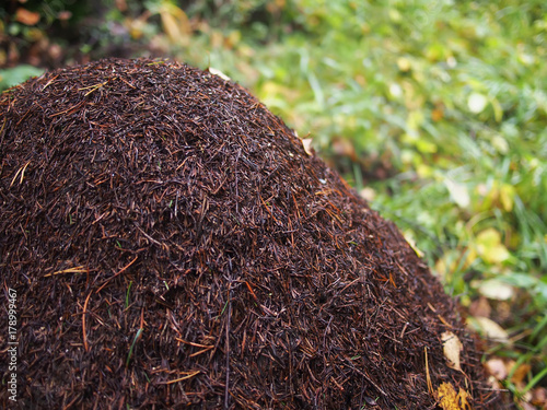 Photo an anthill in the forest. summer