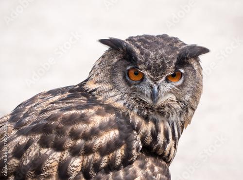 Deurstickers Uilen cartoon Eurasian Eagle Owl