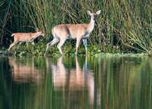 Deer With Reflection