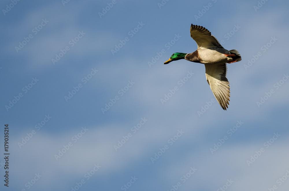 Mallard Duck Flying In A Blue Sky Foto Poster Wandbilder Bei