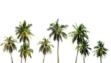 Coconut Tree In The Garden Has A Lot On White Background