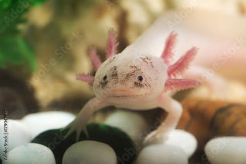 portrait of a funny axolotl