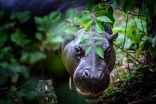 Young Pygmy Hippopotamus