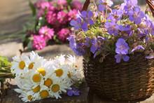 Blue Geranium, Clover, Camomile. Herbs Harvesting Of Medicinal Raw Materials