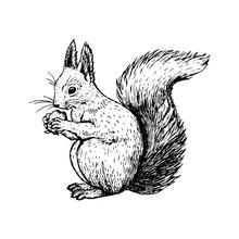 Hand Drawn Squirrel. Vector Sketch.