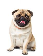 Dog Pug White Background