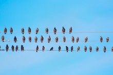 Starlings Sitting On A Electri...