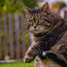 Round Tabby Cat Lifting Her Paws