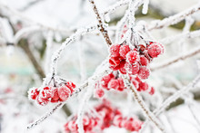 Winter Frozen Viburnum Under S...