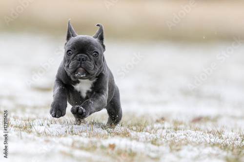 Foto op Aluminium Franse bulldog French Bulldog Photos