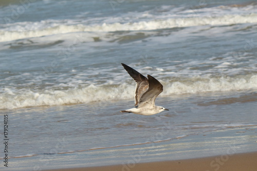 Dauphin Seagull on the Texas Coast