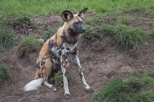 A Alert Looking Painted Dog Si...