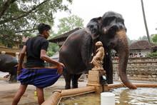 Tempel Elefant Von Kandy In Sr...