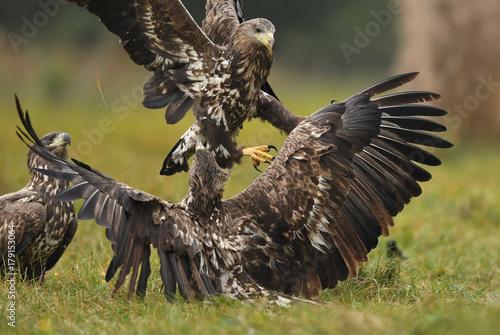 Keuken foto achterwand Uil White tailed Eagle (Haliaeetus albicilla)