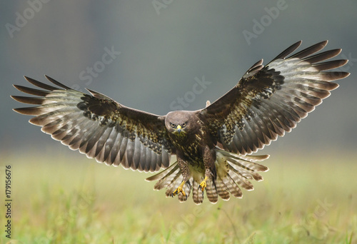 Fotografie, Tablou  Common buzzard (Buteo buteo)