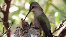 Hummingbird Feeds Babies
