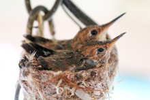 Baby Hummingbird In Nest With ...
