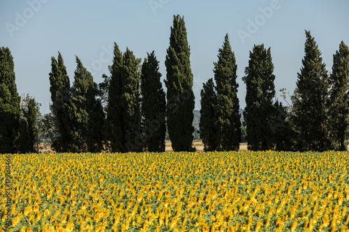 Sunflowers field near Arles  in Provence, France Wallpaper Mural