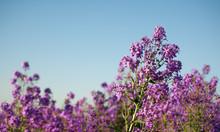 Purple Weeds, Beautiful