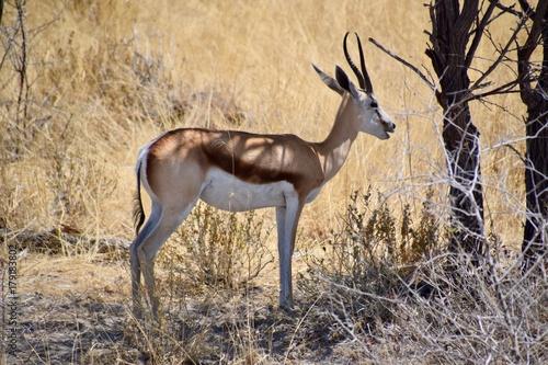 Antelope Antilope -Afrika - Namibia