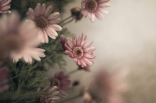 Romantic Pink Daisies In Muted Tones