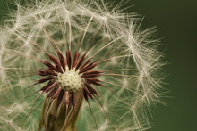 Dandelion Seed Head Showing In...
