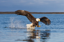 Bald Eagle Dragging Tail Through The Water In Alaska