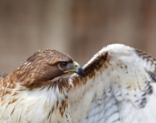 Red Tailed Hawk Closeup Spread...