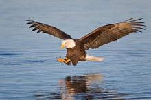 Bald Eagle Catching Fish In Alaska