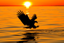 Silhouette Bald Eagle Trying To Catch Fish While Flying Over Sea