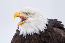 Bald Eagle Calling Head Portrait In Alaska