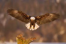 Bald Eagle Landing On A Tree I...
