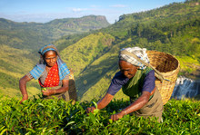Tea Pickers At A Plantation In...
