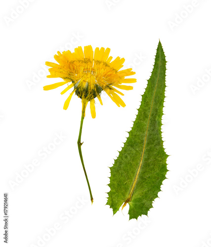 Fotografie, Obraz Pressed and dried flowers sow-thistle, isolated