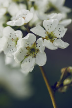 Close Up Of Pear Tree Flowers