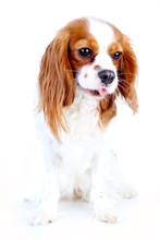 Cute Funny Dog Photo. Cavalier...