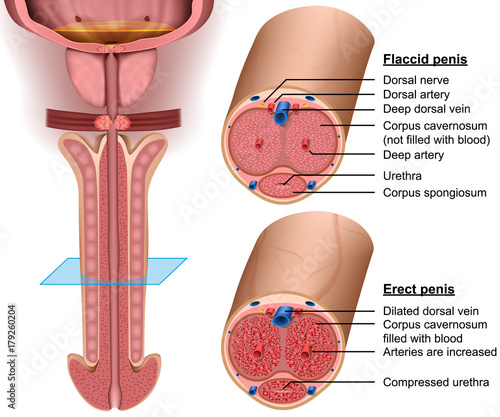 Anatomy, cross section Penis, 3d vector illustration Fotobehang