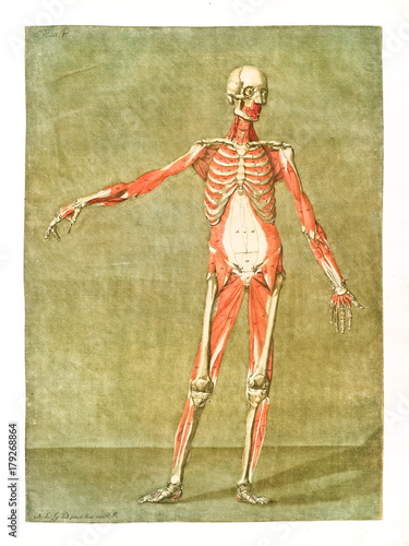 Human anatomy. Main muscles and bones. Male body posing without skin ...
