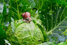 Snail Is Sitting On Cabbage In...